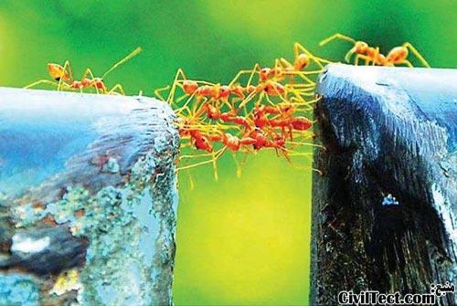 پلسازی مورچه ها - مهندس عمران حیوانات