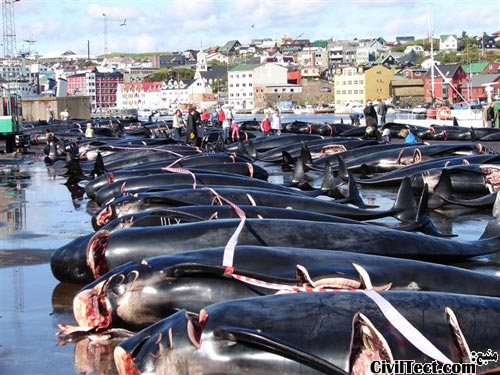 شکار گروهی نهنگ